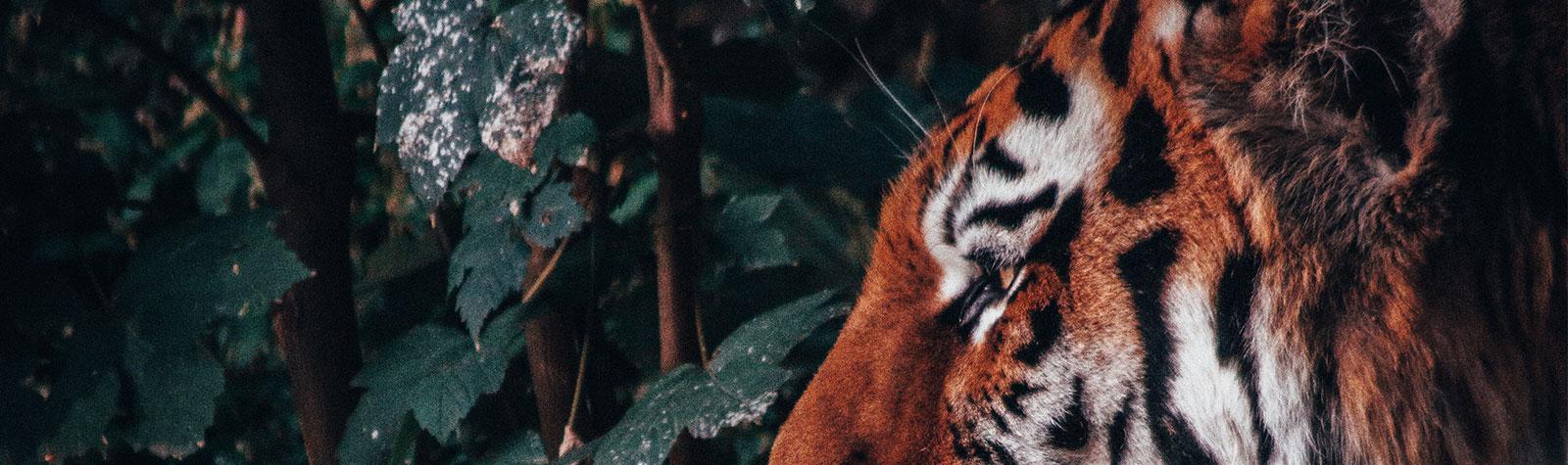 Porque tatuamos tigres?